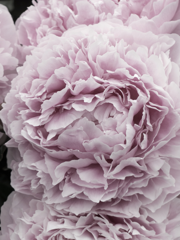 Kesä, vaaleanpunain, Pioni, kukkia, unemia, puutarha, puutarhassa, kesäkukkia, vaaleanpunaisia unelmia, pihalla