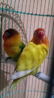ciri-ciri lovebird pastel kuning bersih