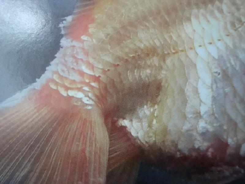 Gambar Jenis Penyakit Ikan sisik Menggembung