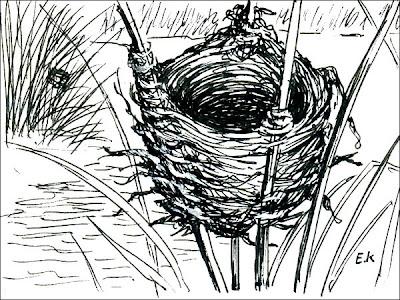 nido de Varillero ala amarillo Agelasticus thilius