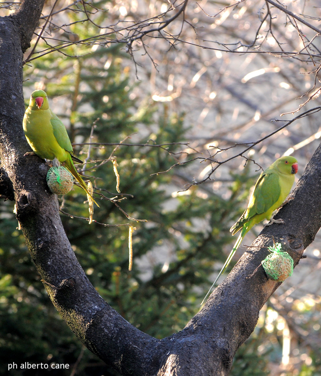 pappagalli a milano