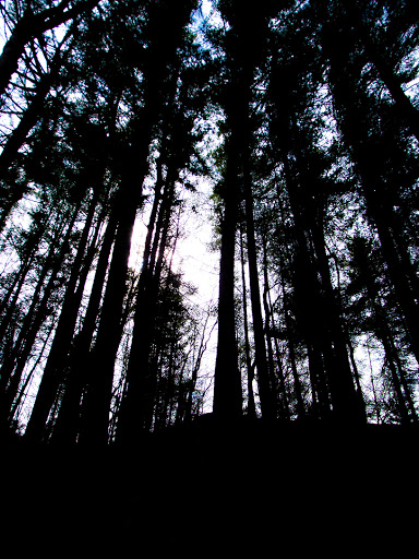 White Pines on the Hemlock Trail - Mt. Pisgah Hemlock Hardwoods State Natural Area near Ontario Wisconsin