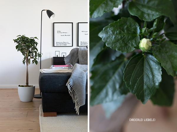 dreierlei liebelei wie bekommt man einen gr nen daumen am beispiel hibiskus zimmerpflanze. Black Bedroom Furniture Sets. Home Design Ideas