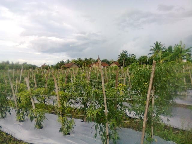 Tanaman Cabe Merah Keriting (CMK) Diberi Tiang Ajir Dari Bambu