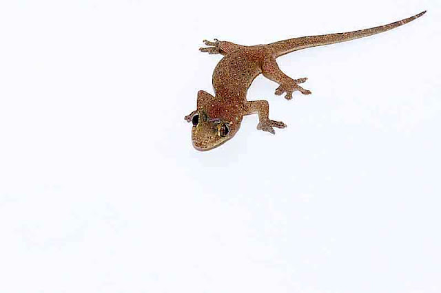 Hemidactylus frenatus, gecko, white background