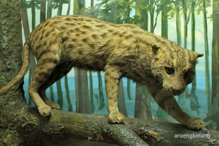 kucing akar museum zoologi bogor
