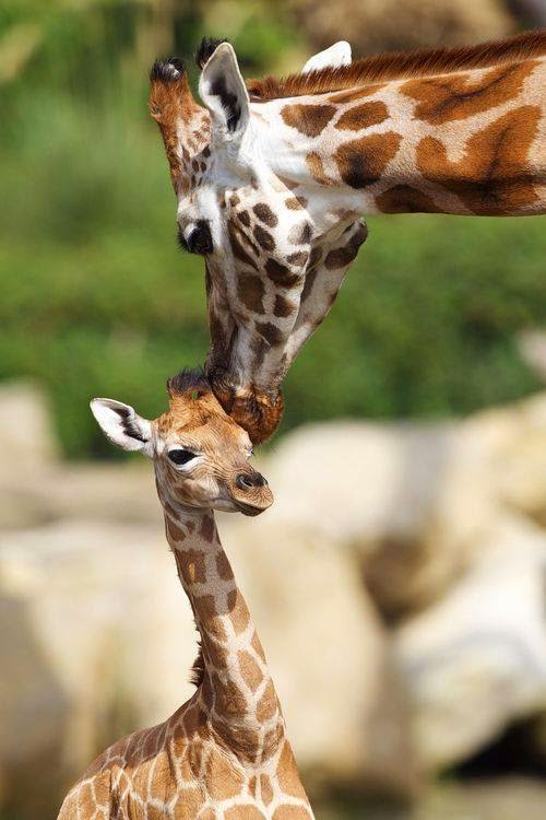Lovable Images Animals Kissing Wallpapers Amazing