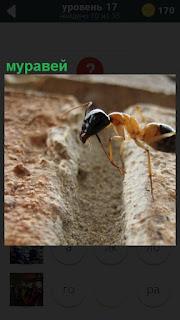 Через канаву в песке ползет муравей по своим делам