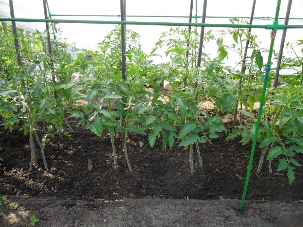 «Сдвоенные» индетерминантные помидоры