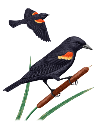 Compostable Matter: What do red winged blackbirds mean?