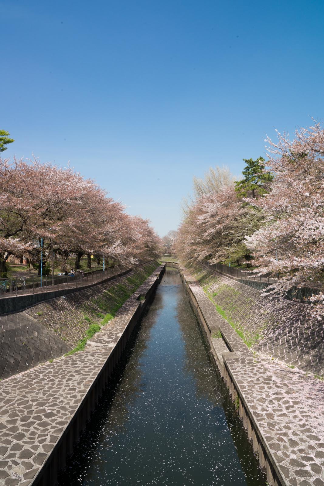善福寺川緑地の桜の写真