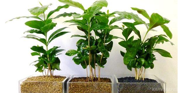 evde kahve ağacı yetiştiriciliği - www.kahvekafe.net