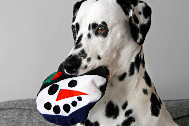 Dalmatian dog playing with homemade Christmas dog toy shaped like Frosty the Snowman