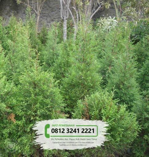 Jual Benih / Biji Pohon Cemara Wangi / Rentes