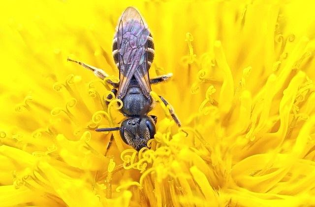 Lebah Penghisap Madu