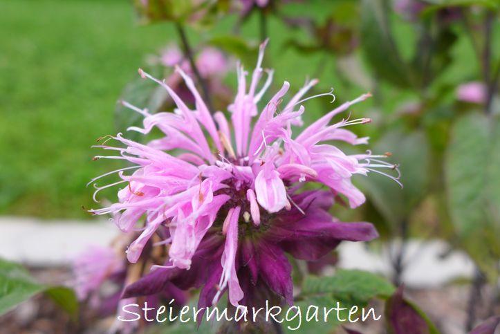 Rosenmelisse-Steiermarkgarten