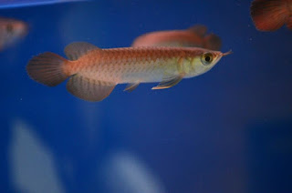 bentuk kepala pada ikan arwana super red anakan