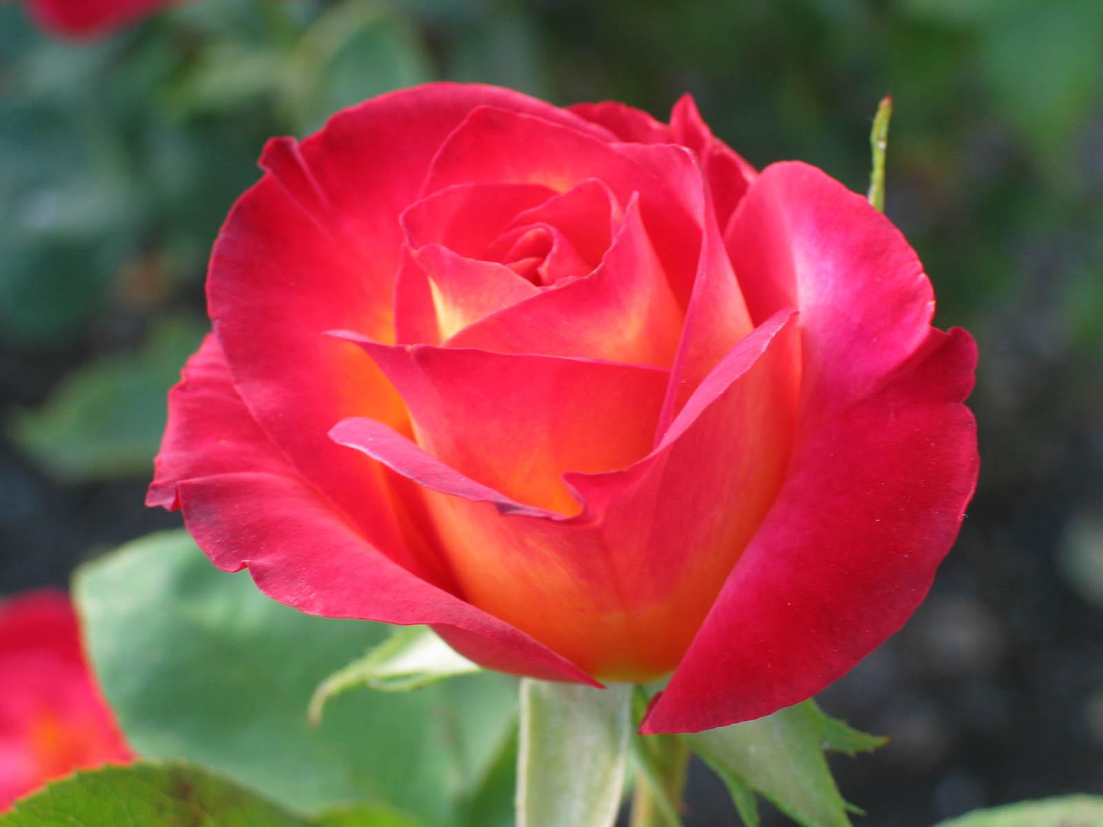Gambarbaru Gambar Bunga Rose Mekar Warna Warni