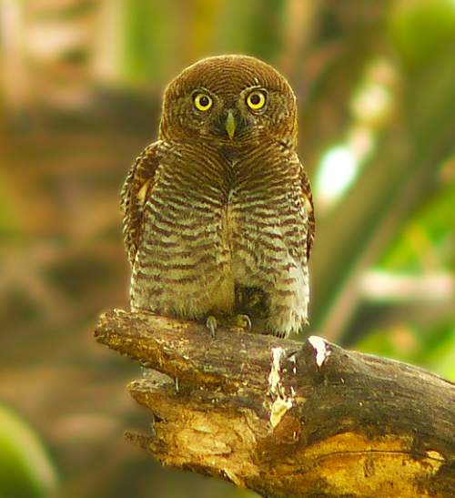 Birds of India - Photo of Jungle owlet - Glaucidium radiatum
