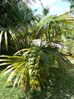 Latanier de Rodrigues - Latanier jaune - Latania verschaffeltii - Latanier de Verschajfelt