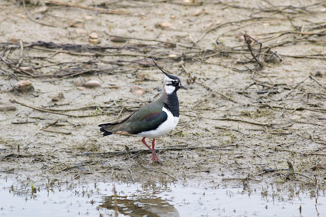 Rainy Days - Lapwing