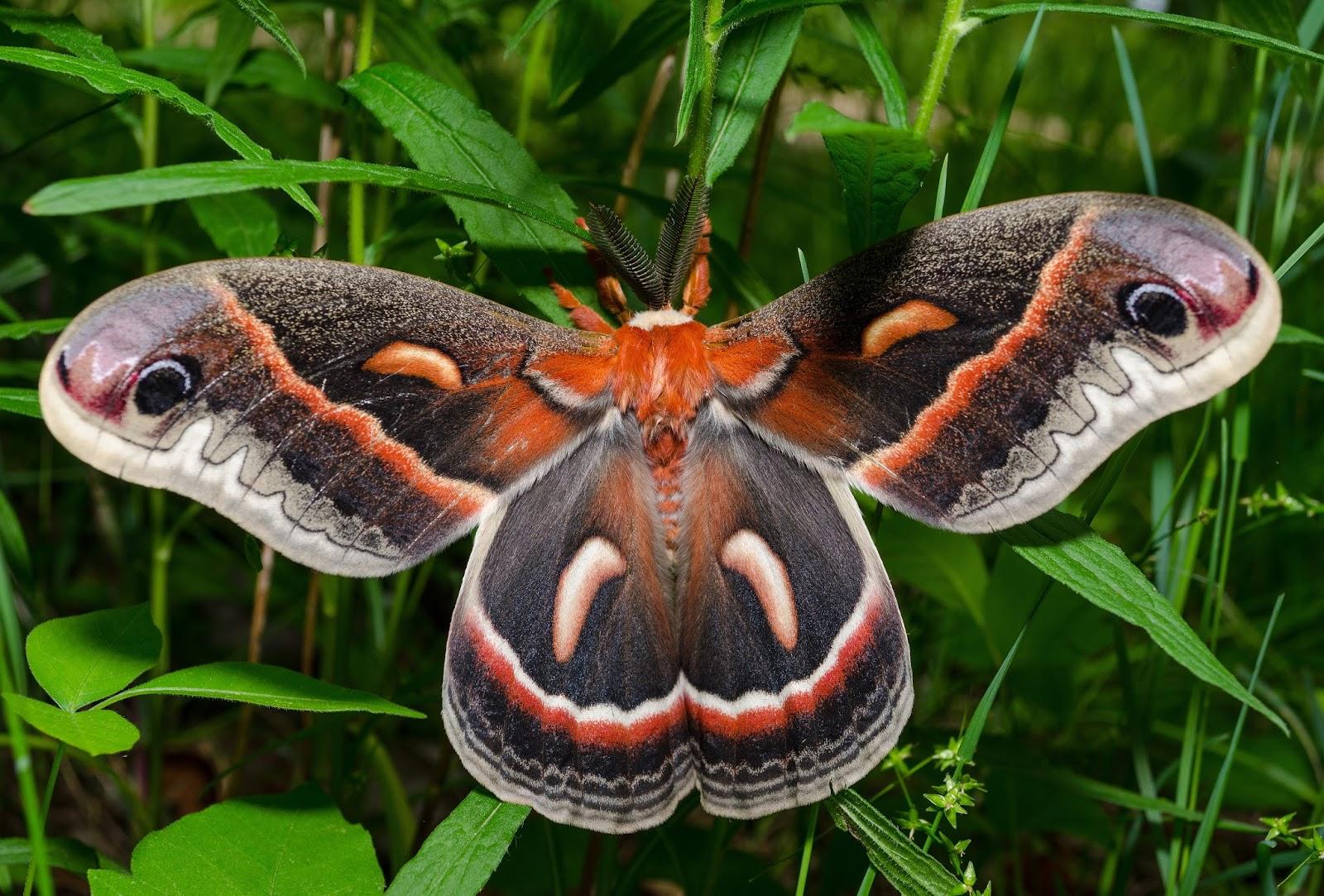Cecropia Moth hyalophora cecropia