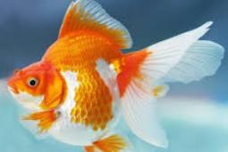 Tips Membeli Ikan Koki Yang Sehat