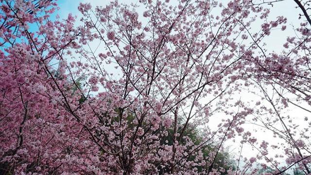 Tak Hanya di Jepang, Seperti Ini Penampakan Bunga Sakura di Taiwan