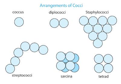 Bentuk bentuk bakteri coccus / bulat