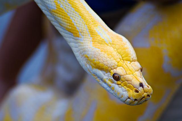 Soñar con Serpientes Amarillas ¿Que Significa?