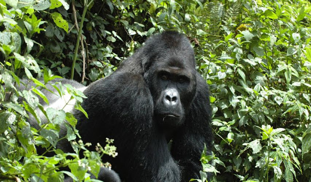 Four out of six great apes one step away from extinction