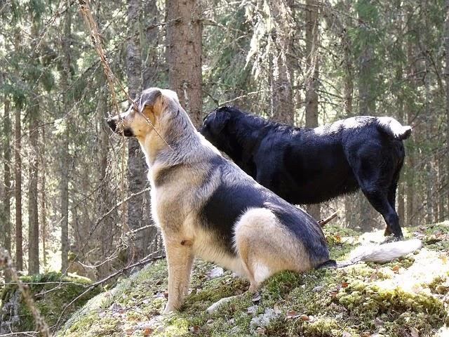 anjing hutan setia terhadap pasangannya