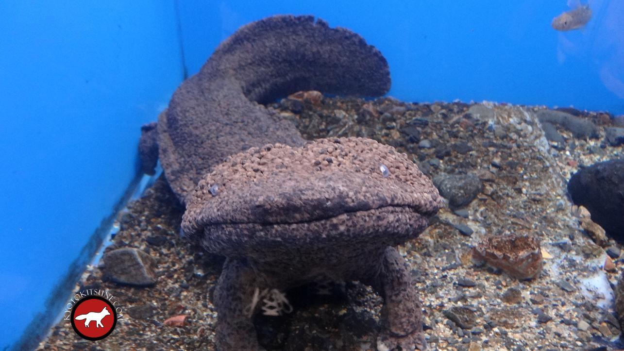 Resultado de imagen de La géante Salamandre chinoise