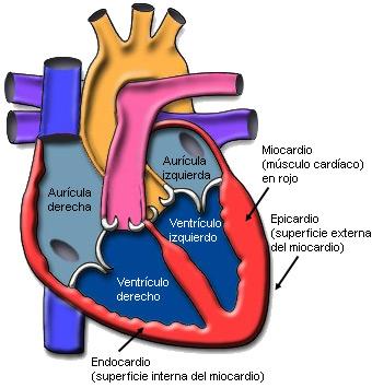 Resultado de imagen de corazon cuerpo humano