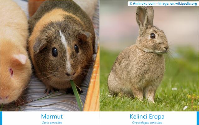 Perbedaan marmut dan kelinci eropa
