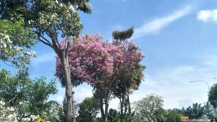 Musim Bunga Tekoma (Sakura Malaysia)