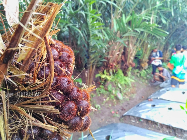 Kebun Salak Desa Wisata Pancoh Sleman DIY