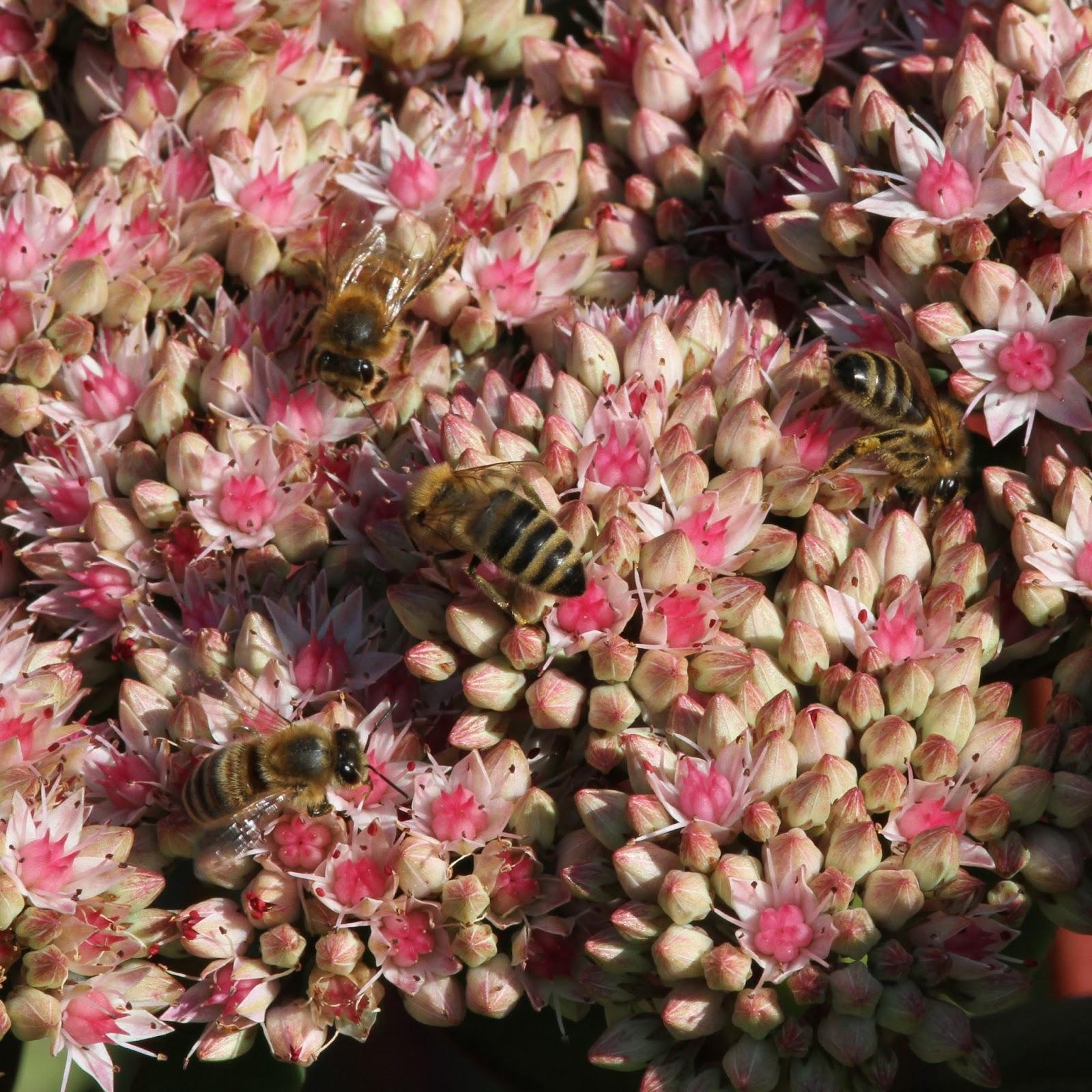 Trogtrogblog Honey Bees On Sedum Spectabile