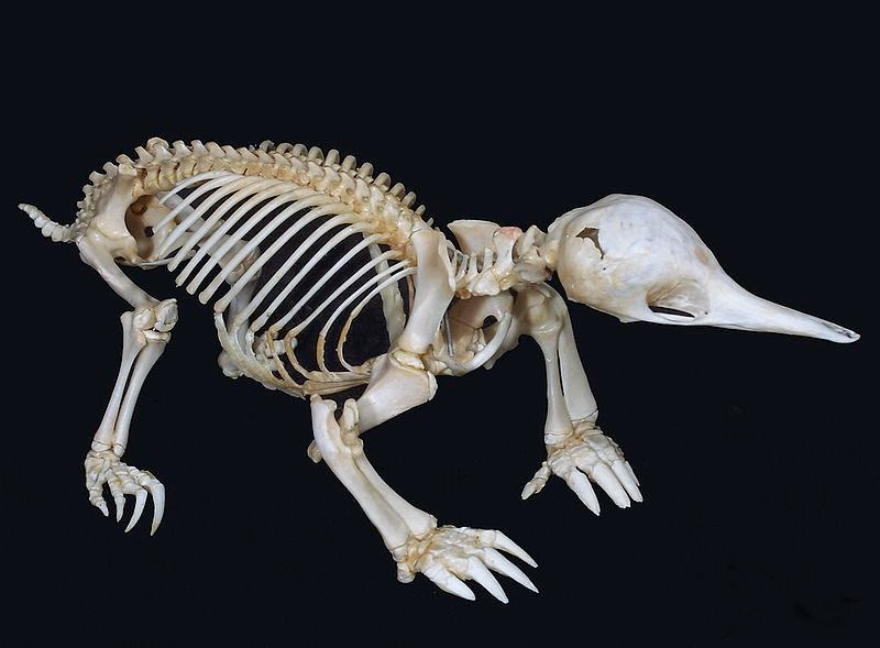 Image showing the skeleton of a short-beaked echidna
