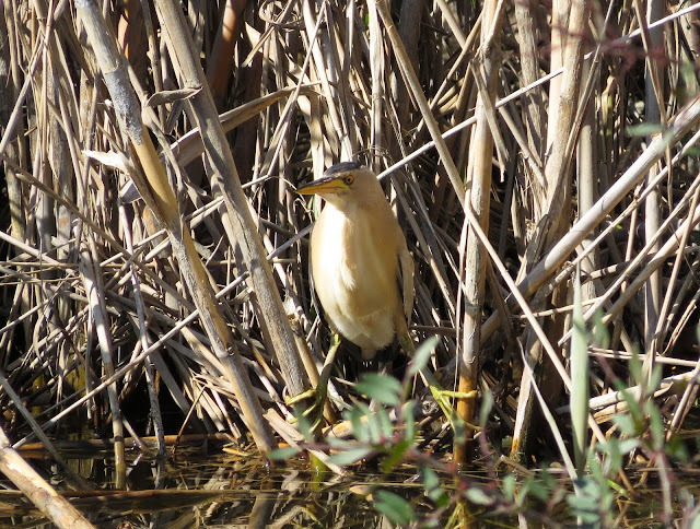 Little Bittern - S'Albufera Natural Park, Mallorca