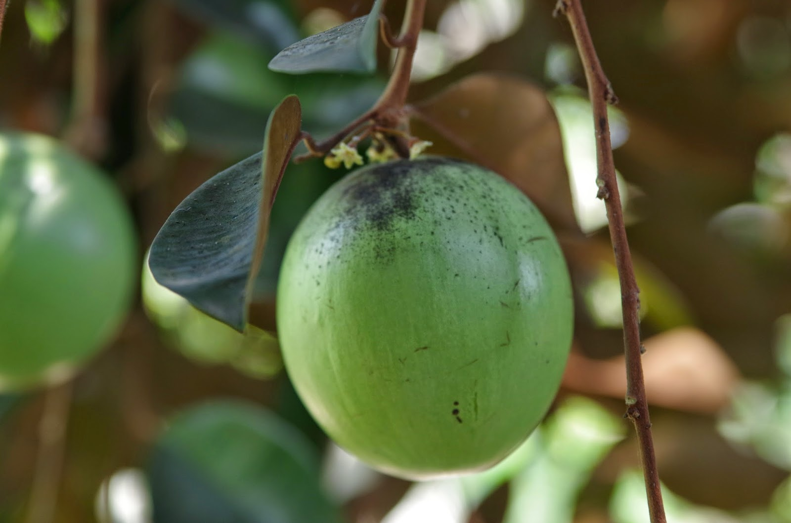 Trees and Plants: Star Apple or Caimito (Chrysophyllum ...