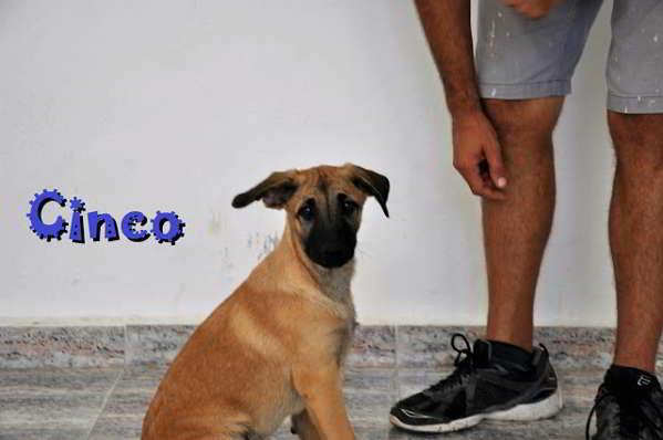 cachorros cruce pastor alemán 5