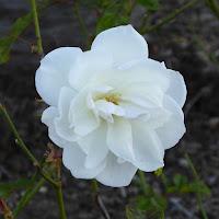 打上川治水緑地 12月のバラ