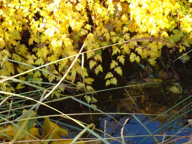 tawulec pogięty jesienią