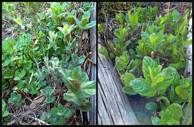 Two varieties of mint from Annake's garden