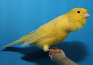 suara kenari roller, burung kenari roller