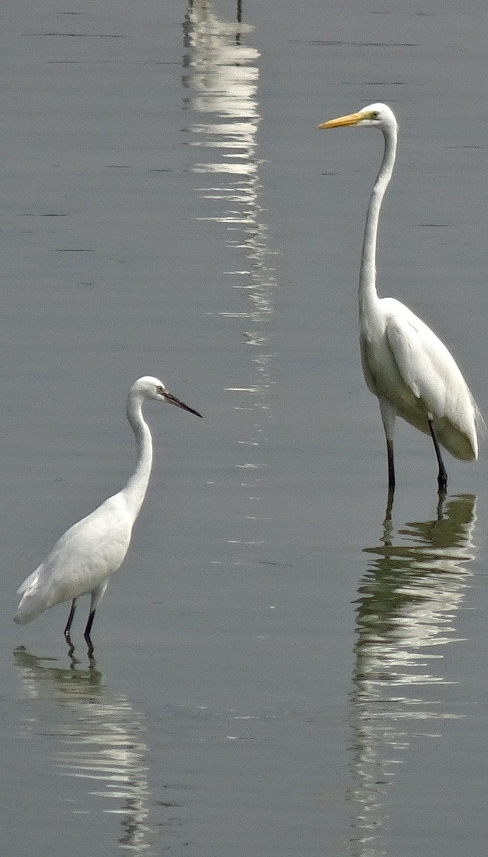 Height difference between little and great egret.