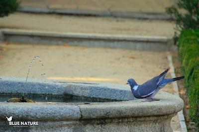 Paloma torcaz (Columba palumbus) bebiendo agua en la fuente de un parque urbano
