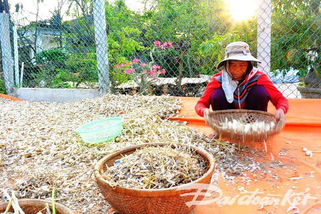 Người dân Lý Sơn đang phơi tỏi để khô để bán cho thương lái.
