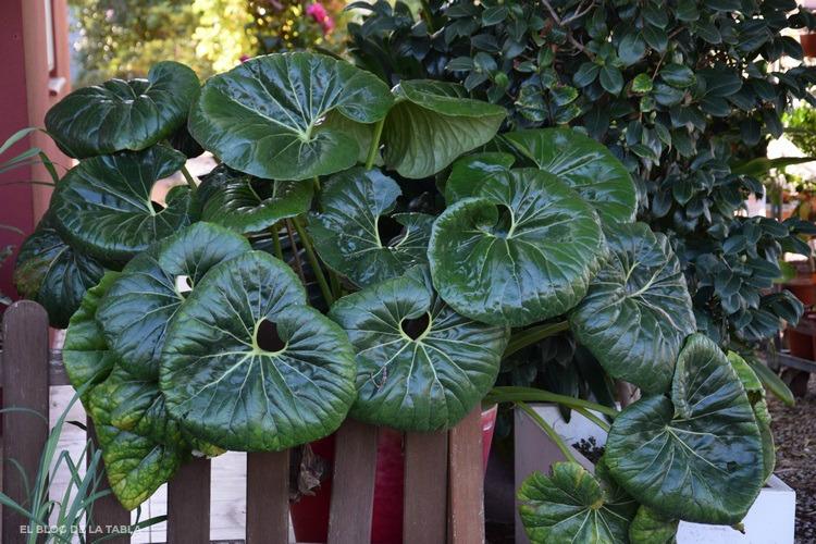 Fargium, boina de vasco, green lepopard plant